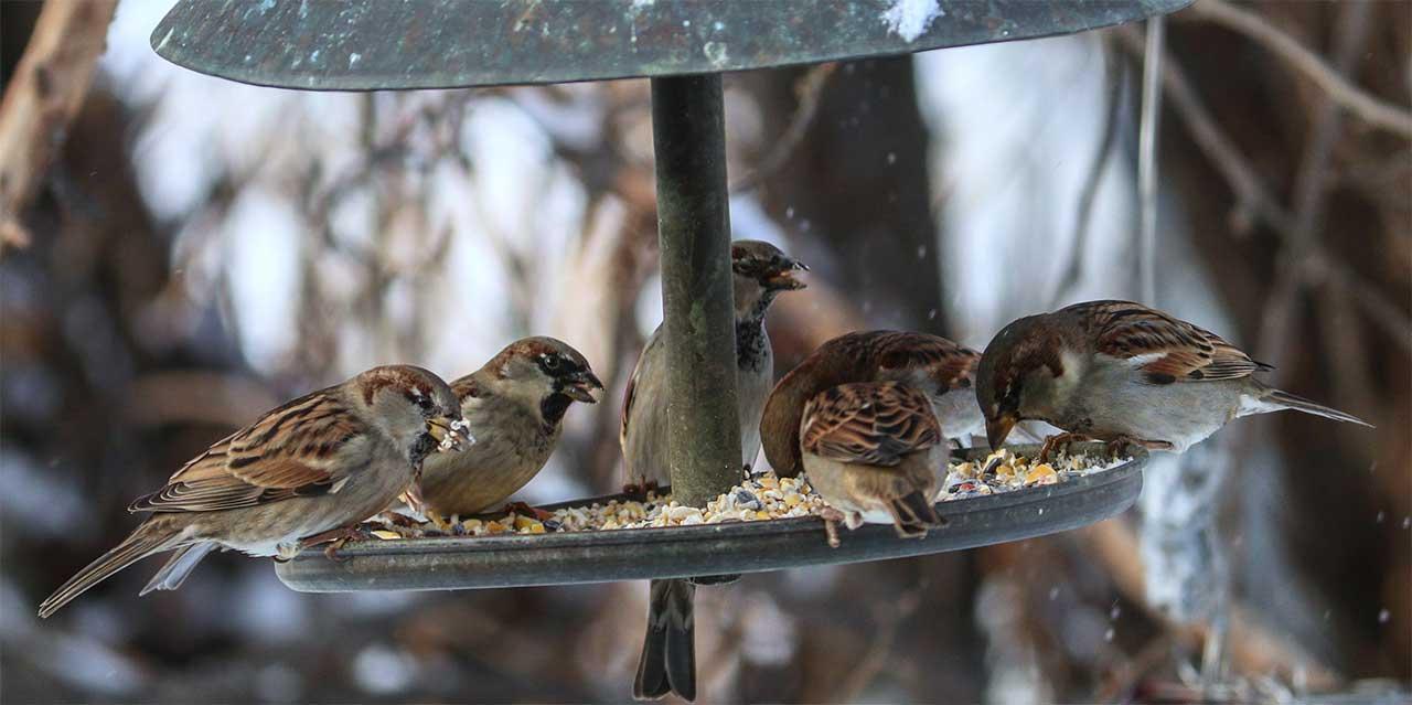 Snow Sparrows sharing their breakfast in Farmington