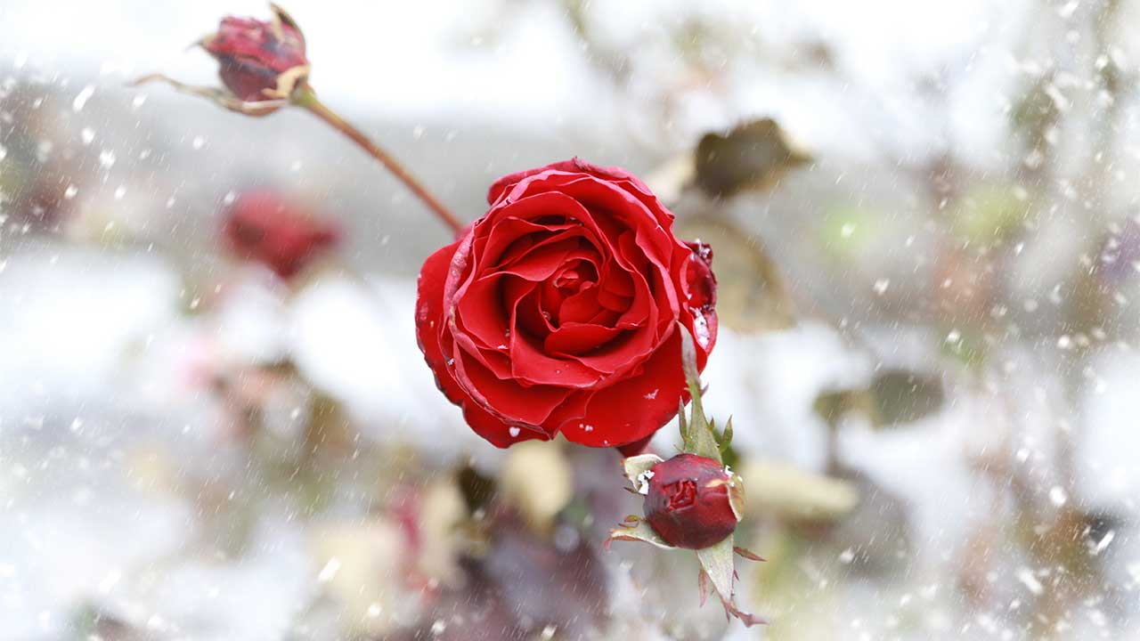 Blooming in the snow in Fayette